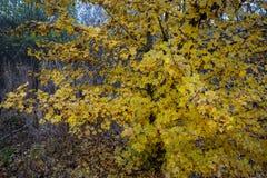 Boom met kleine gele bladeren in de herfst royalty-vrije stock foto's