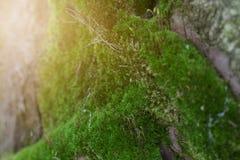 boom met mos op wortels in een groen bos of mos op boomboomstam stock foto