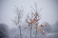 Boom met oranje bladeren in de winter met sneeuw het vallen Stock Afbeeldingen