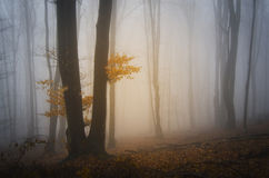 Boom met oranje bladeren in geheimzinnig bos met mist Stock Foto