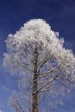 Boom met rijp in de winter Stock Afbeelding