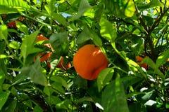 Boom met rijpe sinaasappelen en witte bloemen wordt behandeld die royalty-vrije stock fotografie