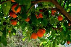 Boom met rijpe sinaasappelen en witte bloemen wordt behandeld die royalty-vrije stock foto