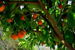 Boom met rijpe sinaasappelen en witte bloemen wordt behandeld die stock afbeelding