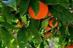 Boom met rijpe sinaasappelen en witte bloemen wordt behandeld die stock afbeeldingen