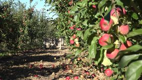 Boom met rode appelen in ecoboomgaard bij de verandering van de oogstnadruk 4K stock video