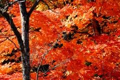 Boom met rode de herfstbladeren Royalty-vrije Stock Fotografie