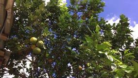 Boom met sinaasappelen, sinaasappelen op de boom stock footage