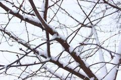 Boom met sneeuw Stock Foto