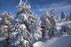 Boom met sneeuw in de winterbergen die wordt behandeld Royalty-vrije Stock Foto