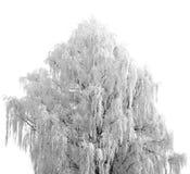 Boom met witte sneeuw wordt behandeld die Royalty-vrije Stock Afbeeldingen