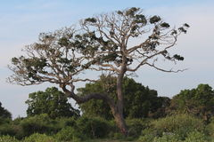 Boom Nationaal park Yala Royalty-vrije Stock Afbeelding