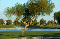 Boom op golfhof Stock Foto's