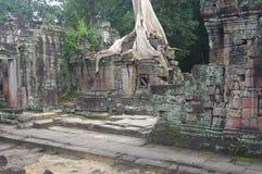Boom in Preah Khan royalty-vrije stock afbeeldingen