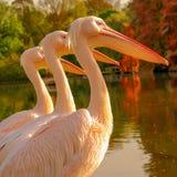 Boom Rosy Pelicans bij het parkmeer in de Herfst stock afbeeldingen