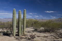 Saguaro in landschap Royalty-vrije Stock Fotografie