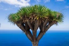 Boom tegen het overzees plant dichtbij oceaandracaena-draco royalty-vrije stock afbeeldingen