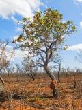 Boom van Braziliaanse savanne (Cerrado) Royalty-vrije Stock Afbeeldingen