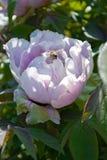 Boom van de bloem de Witte Pioen Royalty-vrije Stock Afbeelding