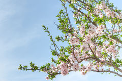 Boom van de de lente de bloeiende amandel met bloemen en gebladerte Stock Foto's