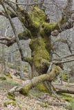 Boom van de eeuwen de oude kastanje op Ambroz-vallei Verbazende Aard stock afbeeldingen