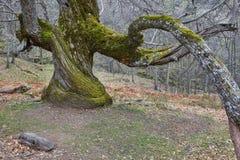 Boom van de eeuwen de oude kastanje op Ambroz-vallei Verbazende Aard royalty-vrije stock afbeelding