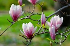 Boom van de Grunged de mooie magnolia in het bloeien in een botanische tuin Stock Fotografie