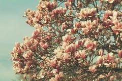 Boom van de Grunged de mooie magnolia in het bloeien in een botanische tuin Stock Afbeelding