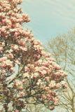 Boom van de Grunged de mooie magnolia in het bloeien in een botanische tuin Royalty-vrije Stock Afbeeldingen