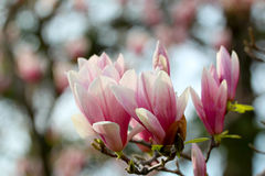 Boom van de Grunged de mooie magnolia in het bloeien in een botanische tuin Royalty-vrije Stock Foto's