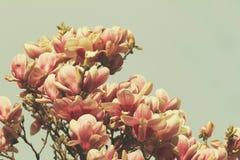 Boom van de Grunged de mooie magnolia in het bloeien in een botanische tuin Royalty-vrije Stock Foto