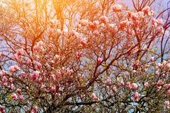 Boom van de Grunged de mooie magnolia in het bloeien in een botanische tuin Stock Afbeeldingen