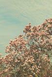 Boom van de Grunged de mooie magnolia in het bloeien in een botanische tuin Stock Foto