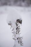 Boom van de Kerstmis de altijdgroene die pijnboom met verse sneeuw wordt behandeld Stock Foto
