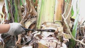 Boom van de landbouwers de scherpe banaan Royalty-vrije Stock Afbeelding