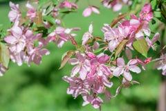 Boom van de de lente de bloeiende kers Royalty-vrije Stock Foto
