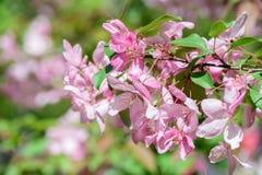 Boom van de de lente de bloeiende kers Stock Afbeeldingen