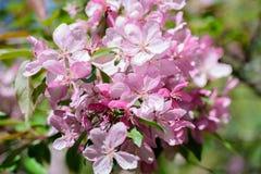 Boom van de de lente de bloeiende kers Stock Afbeelding