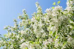 Boom van de de zonovergoten lente de tot bloei komende witte appel op blauwe hemelachtergrond Stock Afbeelding