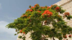 Boom van delonixregia, Malta, Valletta stock footage