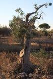 Boom van eeuw-oude olijfboom Stock Fotografie