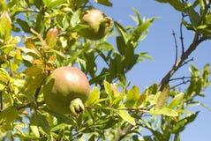 Boom van granaatappels Royalty-vrije Stock Afbeeldingen