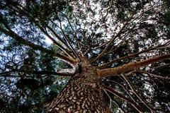 Boom van het levenspijnboom Stock Fotografie