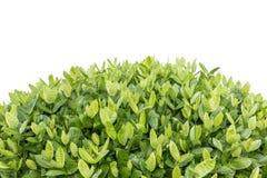 Boom van Ixora Tropische bloem in geïsoleerde tuindecoratie Royalty-vrije Stock Fotografie