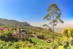 Boom voor thee in Haputale in Sri Lanka Stock Afbeeldingen