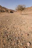 Boom in woestijn stock afbeelding
