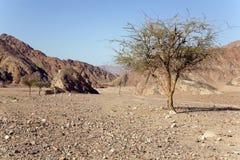 Boom in woestijn Stock Afbeeldingen