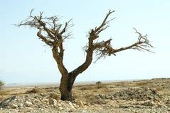 Boom in woestijn Stock Foto