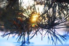 Boom Zon, Kerstboomnaalden Stock Foto