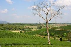 Boom zonder bladeren op een heuvel van theeaanplanting Stock Fotografie